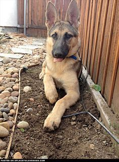German Shepherd Dog • APlaceToLoveDogs.com • dog dogs puppy puppies cute doggy doggies adorable funny fun silly photography
