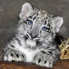 World-weary baby snow leopard is already over this fame thing