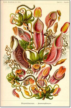 Nepenthaceae. Popularly known as tropical pitcher plants or monkey cups, are a genus of carnivorous plants.
