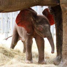 Elephant Ears!