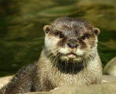 Another cute otter portrait - April 19, 2013