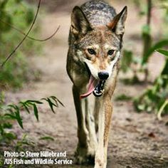 Fewer than 100 Wild Red Wolves Remain in the World