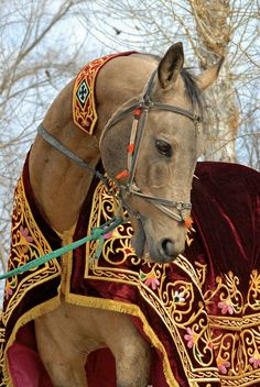 Akhal-Teke in beautiful tack