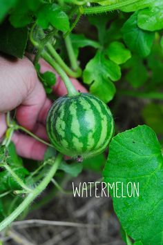 watermelon growing in my garden. how to garden on link.