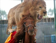 A lion riding on a horse