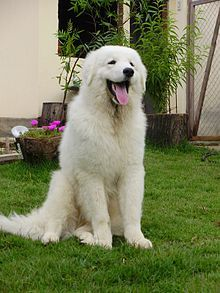 The Kuvasz (Hungarian pronunciation: [ˈkuvɒs], pl. Kuvaszok, Hungarian pronunciation: [ˈkuvɒsok]) is an ancient breed of a livestock dog of Hungarian origin. Mention of the breed can be found in old Hungarian texts. It has historically been used to guard livestock, but has been increasingly found in homes as a pet over the last seventy years.