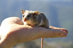 The palm-sized Mountain Pygmy Possum lives in the Australian Alps and is the only marsupial in the world to hibernate.