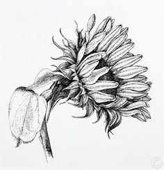 Sunflower - drawing