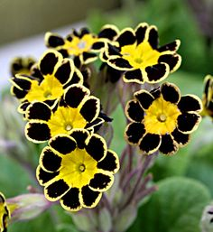 Primula polyantha 'Victoriana Gold Laced Black' - Buy Online at Annie's Annuals & Perennials