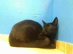 2 year old Della needs out of NYCACC NOW!!! TO BE DESTROYED 6/13/13 Brooklyn Center  My name is DELLA. My Animal ID # is A0966413. I am a female black and white domestic sh mix. The shelter thinks I am about 2 YEARS old.  I came in the shelter as a STRAY on 05/25/2013 from NY 11368, owner surrender reason stated was STRAY.