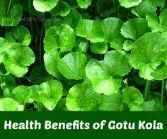 Health benefits Gotu Kola Centella Asiatica   Health Villas