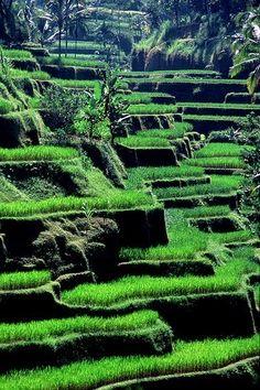 Rice Pads - Tellalalang, Bali, Indonesia