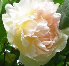 david austin rose...cressida