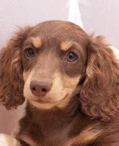 ❤ milk chocolate 'n butterscotch #cute #doxie #dachshund