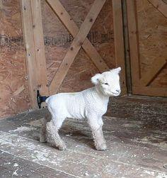 Goose Creek Babydolls - Baby Turtle.  Babydoll Southdown Sheep.