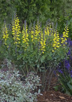 "A new, yellow version of one of our favorite Indiana natives. Proven Winners says, ""Decadence 'Lemon Meringue' Baptisia...This variety will reach 3 feet in height, and the tall, dark stems with bright flowers makes a striking sight in the landscape.""  http://emfl.us/vcId"