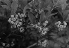 growing blueberries  ♣  14.7.3