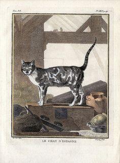 Le chat d'Espagne - Georges-Louis Leclerc de Buffon. L'histoire Naturelle, Les quadrupèdes.