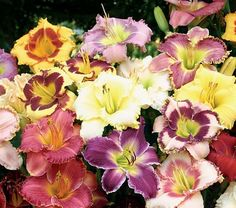 The Lilly is my favorite flower in general. Daylillies are abundant in my flower beds and are so beautiful when taken care of properly, which is quite easy to do, I found the information provided very useful.