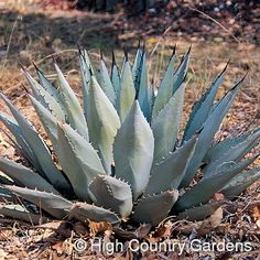 """Agave neomexicana    New Mexico Century Plant  18-24"""" x 24-30"""" wide, This is one of our most cold hardy Agave species. The main rosette of foliage is large, heavily armed with dark burgundy spines and often spouts smaller """"suckers"""" around its base. When the plant matures sufficiently to bloom (after many years of slow growth), it sends up a huge 12-15' tall flowering spike that will attract hummingbirds from miles around. *Not recommended for fall planting in zones 5 and 6.* Zones 5-10."""