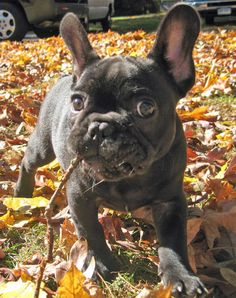 I have a weakness for pictures of puppies with leaves and sticks in their mouths.  And then there are the ears.  THE EARS.