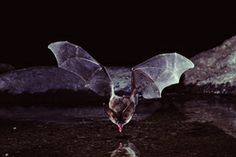 Bat Licking Water