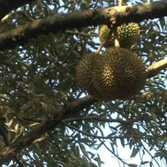 Durian. Our kingbof fruits.