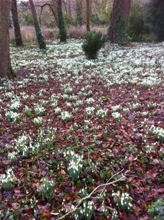 Snowdrops at Lydiard Park