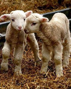 Sweet little lambs