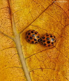 Common Spotted Ladybug. S)