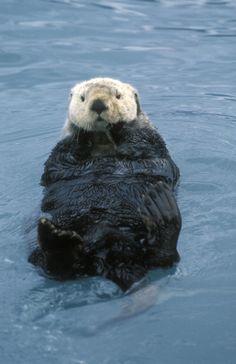 sea otter, Kenai Fjords National Park, Alaska.
