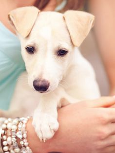 Greyhound Puppy Dog