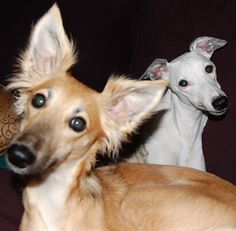 Toffee & Pearl - standard whippet & long hair whippet