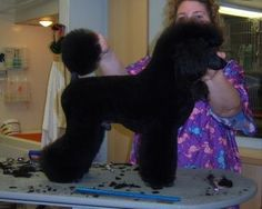 Modern Clip on Miniature or Toy Poodle