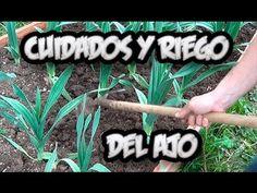 Cultivo Del Ajo : Cuidados Y Como Regar Los Ajos || La Huertina De Toni
