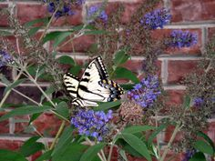 Butterfly bushes really do attract some beauties.