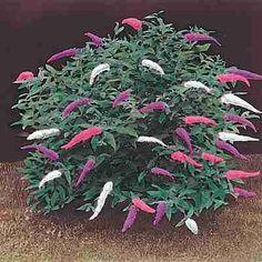 Butterfly Bush Plants