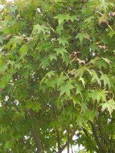 Trees shrubs on pinterest acer palmatum prunus and shrub - Viveros borrazas ...