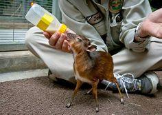 san diego zoo, baby deer, barley, pet, christmas, bottles, bottl fed, baby animals, calves