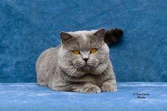 Breed of the Week: BRITISH SHORTHAIR *Area of Origin: Rome *Date of Origin: ancient *Personality: quiet, undemanding #cat #bristishshorthair #breed