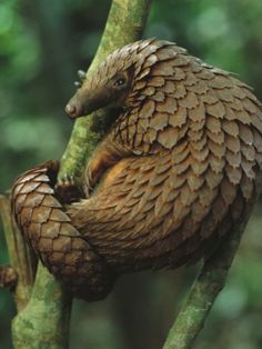 Ever heard of the Pangolin? Here is one climbing a tree, they are nearly endangered. Photo by, George Steinmetz.