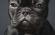 pet photography, anim, god, dog photos, french bulldogs, frenchi, tim flach, dog photography, photographi