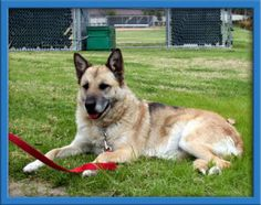 Mama Mia is an adoptable German Shepherd Dog in Irvine, CA. Looking for a smaller female? Mama Mia (aka Mama), is a great size for those looking for an apartment/condo sized dog. www.coastalgsr.org