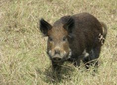 Trapping Wild Hogs Is Easy With This DIY Pen