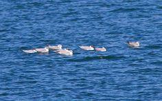 photo by Henry McLin: Bonaparte gulls