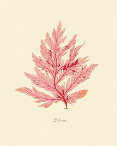 """Vintage Sea Weed """"Delesseria"""" Print"""