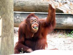 Orangutan Grin by cathy.scola, via Flickr