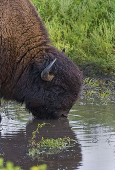 A Bison Bull
