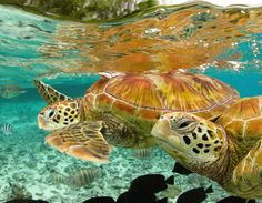 Sea Turtles, Bora Bora