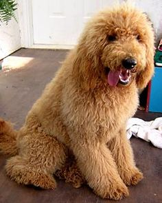 Standard Poodle not all fru frued up.  I like them way better without the funky haircut.